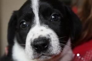 Pollie Pups- German Pointer/ Collie | Colyton, Devon ...