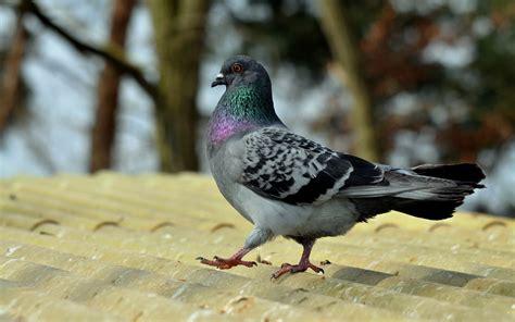 pigeon birds desktop hd wallpapers