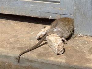 Comment Se Débarrasser Des Souris Dans Une Maison : comment se d barrasser d 39 une odeur de rat mort dans la maison ~ Nature-et-papiers.com Idées de Décoration