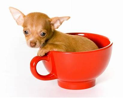 Teacup Chihuahua Miniature Dogs Dog Chihuahuas Mix