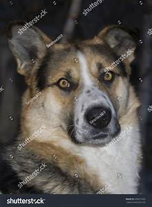 Portrait Hunting Dog Siberian Laika This Stock Photo ...