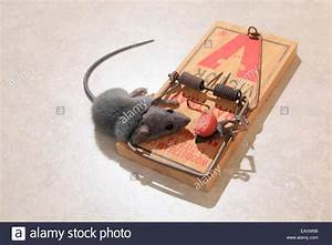 Dead Mouse In Spring Trap Stock Photo  Royalty Free Image