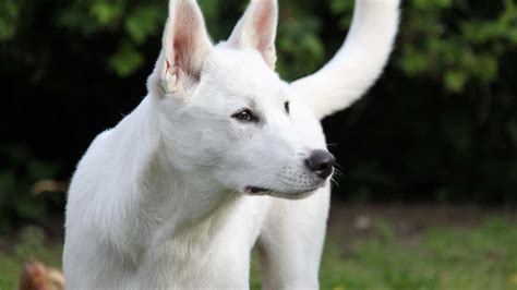 canaan dog information characteristics facts names