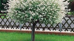 Kleine Bäume Für Den Vorgarten : harlekinweide schneiden und vermehren pflege tipps ~ Sanjose-hotels-ca.com Haus und Dekorationen