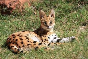 africa serval cat price how much are serval cats