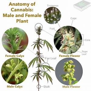 does weed seeds have thc