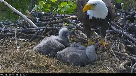 aef dc eagle cam various video clips youtube