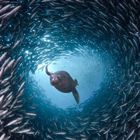 forage fish faq  pew charitable trusts