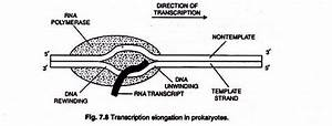 Transcription In Prokaryotes And Eukaryotes  With Diagram
