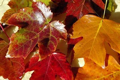 wax preserving fall leaves happiness  homemade