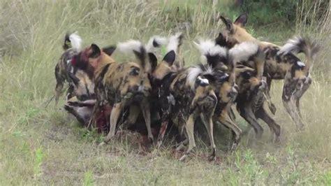 african wild dog hunting  botswana youtube