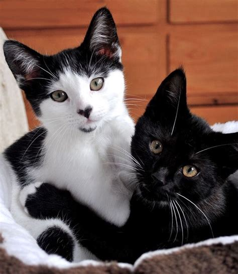 tuxedo cat breed all about tuxedo cat facts personality tuxedo cat breed