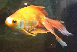 Goldfische Im Teich : goldfische mit weissen rotgeraenderten erhebungen aquarium forum ~ Eleganceandgraceweddings.com Haus und Dekorationen