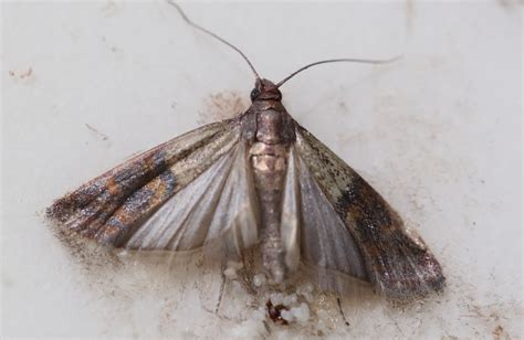 Moths In The Pantry How To Get Rid Of Pantry Moths And Their Eggs Safely And