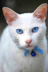 white cat with blue white cat with blue animals l