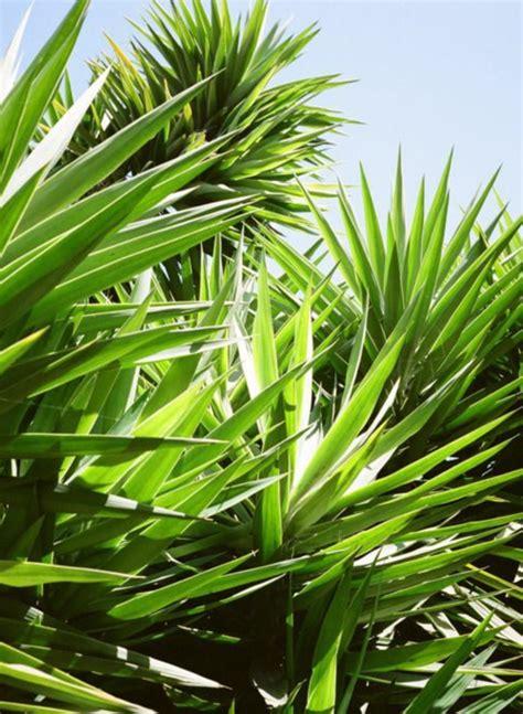 yucca palme ableger yucca palme 26 fantastische bilder zur inspiration archzine net