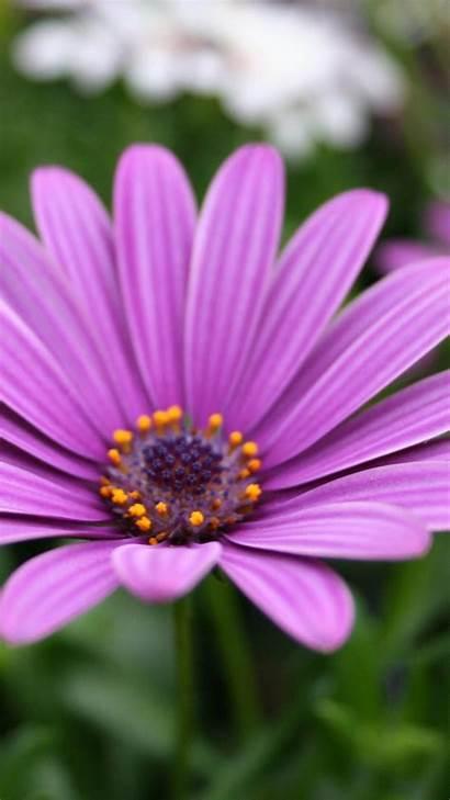 Iphone Flower Purple Flowers Wallpapers Nature Plus