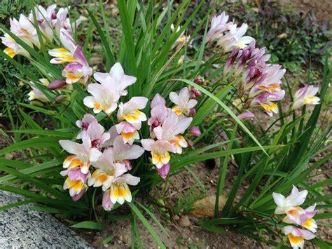 Photo Of The Entire Plant Of Freesia (freesia Fucata