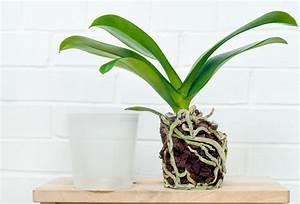 Orchideen Umtopfen Video : orchideen aufp ppeln so erwachen sie zu neuem leben ~ Watch28wear.com Haus und Dekorationen