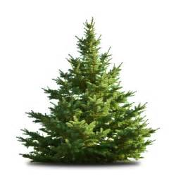 freshly cut christmas trees 171 damhead nursery news