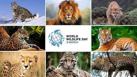 protecting big cats   call   world