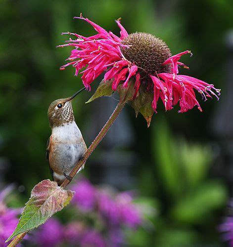 do deer eat bee balm top 28 do deer eat bee balm the minnesota garden 179 best images about gardening ideas on