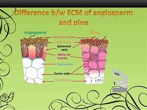 Pics For > Ectomycorrhizal