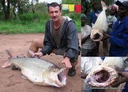Budidaya Ikan Hias: IKAN PIRANHA AMAZON
