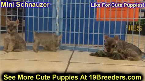 miniature schnauzer puppies dogs  sale  aurora