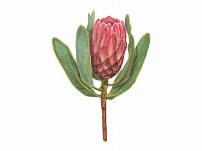 Protea Flower Drawing Blossom Dribbble Plant Awesome