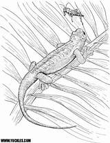 Coloring Gecko Pages Yuckles Geckos Reptile Web Lizards sketch template