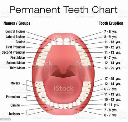 Teeth Names Adult Dentition Permanent Notation Illustration