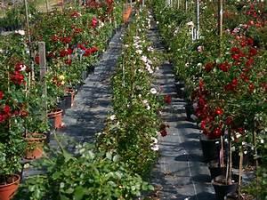 Höffner De Online Shop : rosen kaufen agel rosen online shop ~ Orissabook.com Haus und Dekorationen