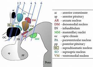 The Human Hypothalamus At Michigan State University