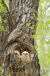 Great Horned Owl and Babies