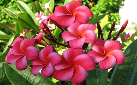 plumeria nature pink flowers  hd wallpaper