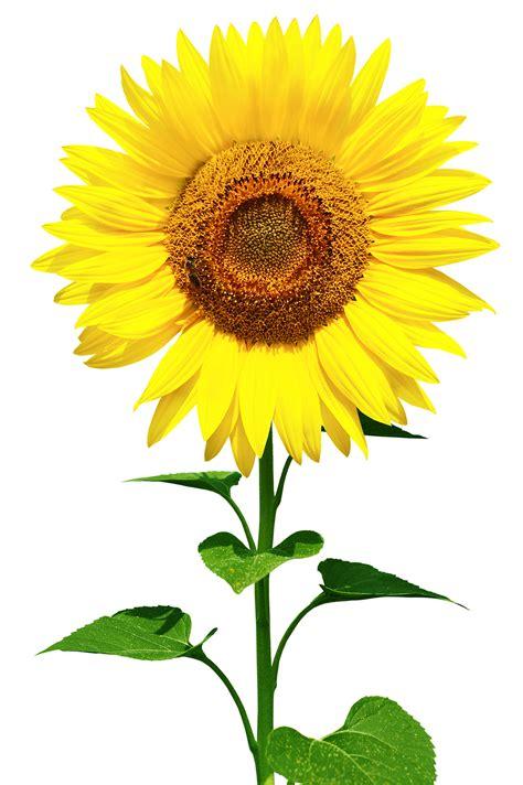 die sonnenblume alimentarium
