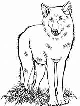 Wolf Coloring Pages Baby Animals Colouring Print Wolfs Printable Getdrawings Drawing Games sketch template