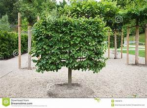 Espalier Lime Tree Royalty Free Stock Images Image 18969879