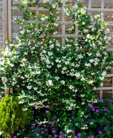 Jasmine, Star  Buy Jasmine, Star Trachelospermum