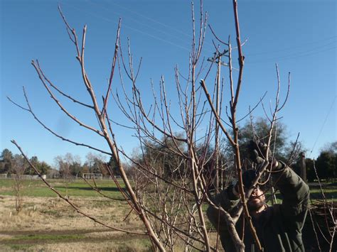 pruning trees have you ever picked a carrot winter pruning a journey to california pruning peach trees