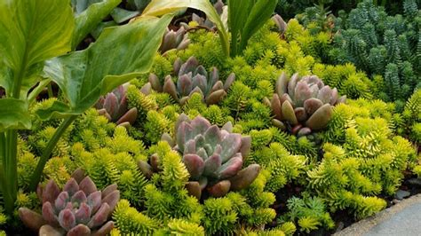 succulents as ground cover succulent ground cover sedum angelina hardy succulents for sonoma county pinterest