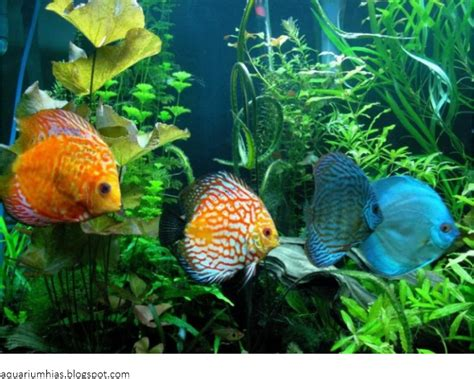 Burger Pakan Ikan Discus ikan hias discus cara budidaya jenis perawatan serta