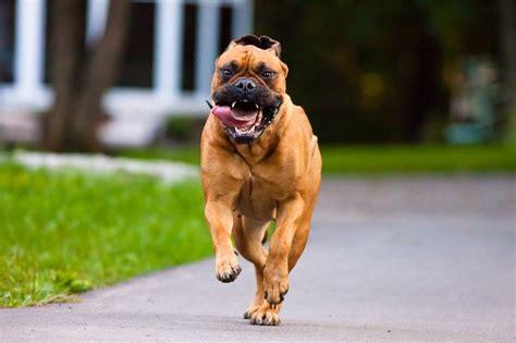 Tudo Sobre A Raca Bullmastiff Tudo Sobre Cachorros