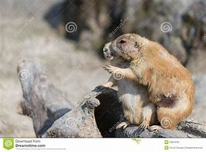 Hugging Prairie Dogs stock image. Image of friends, small ...