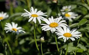Beautiful White Daisy Flowers Wallpaper for desktop and ...