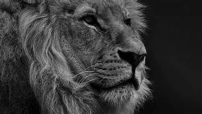 Geographic Lion National Nature Animal Dark Bw