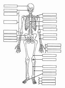 Detailed Skeletal System Diagram