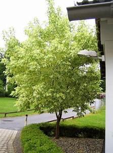 Schöne Bäume Für Garten : sch ne b ume mein sch ner garten forum ~ Eleganceandgraceweddings.com Haus und Dekorationen
