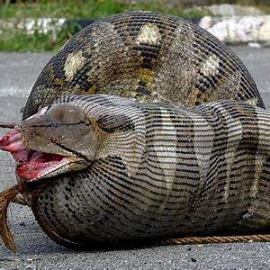Can an anaconda eat a person? Are there any legitimate ...